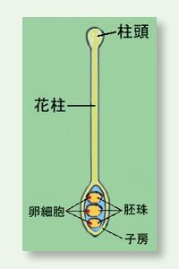 めしべの構造